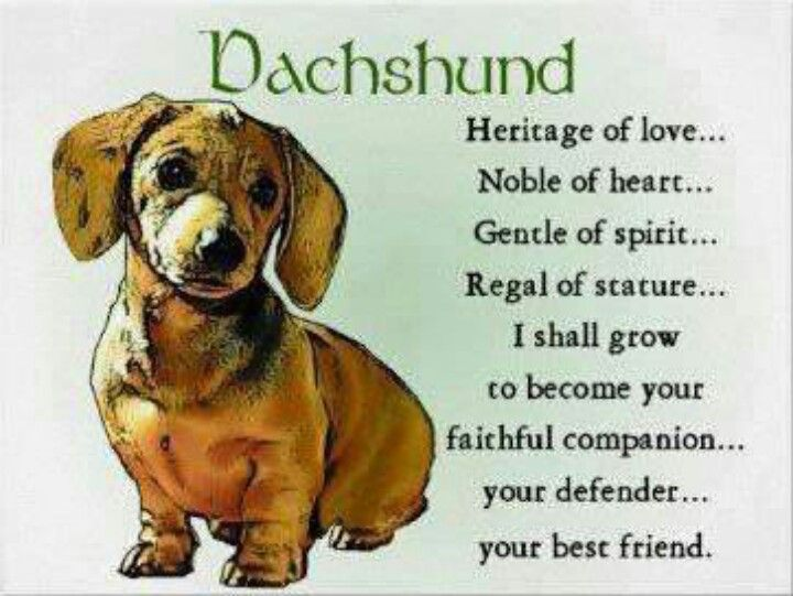 Describes My Dachshund Perfectly She Follows Me Everywhere And
