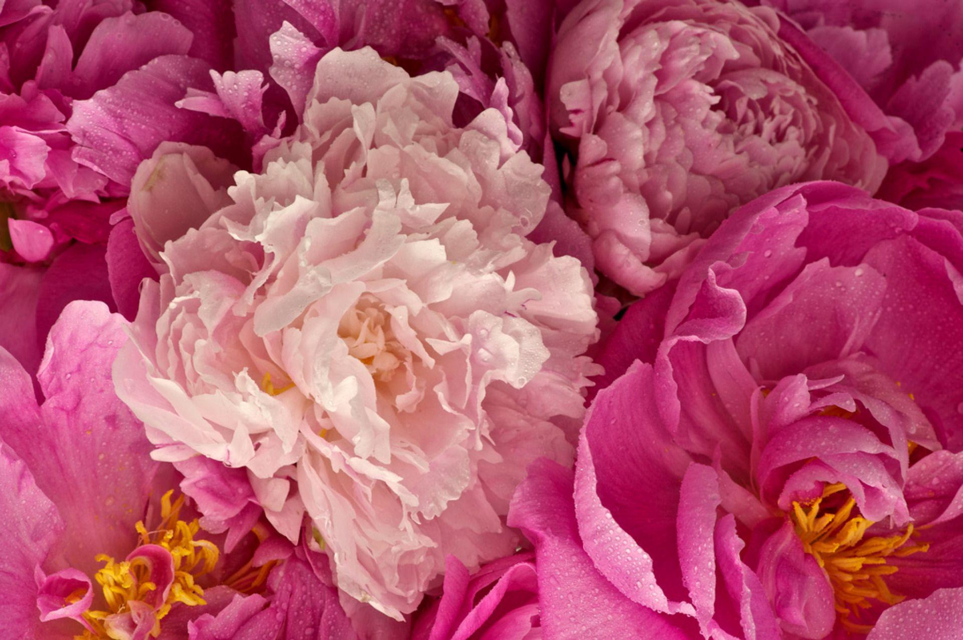 peonies images free Peonies flowers Pinterest