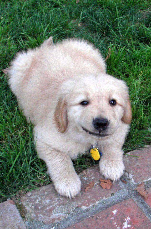 Community Puppies Dogs Golden Retriever Newborn Puppies