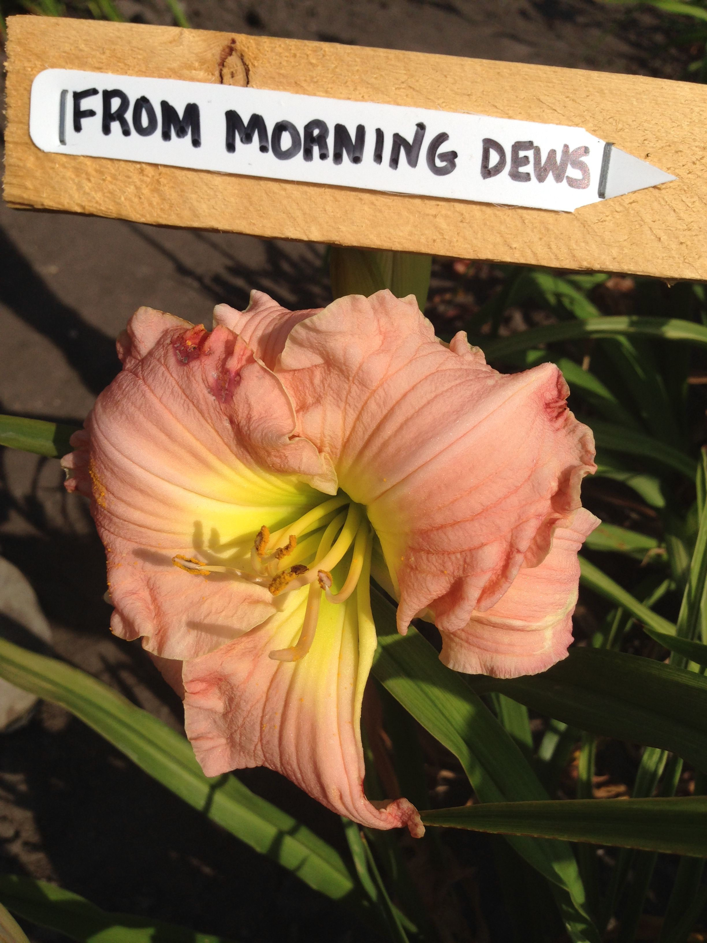 From Morning Dews Day lilies, Morning dew, Garden