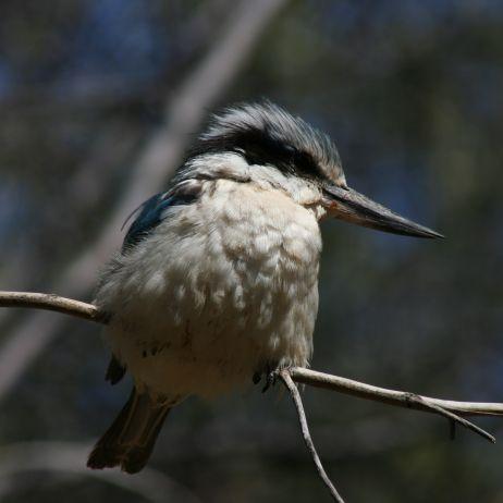 Blue-Winged Kookaburra Kimberleys Western Australia.