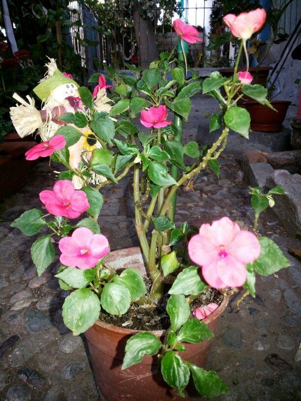 Nombre de la planta alegria del hogar nombres alternativos balsamina nombre cient fico - Alegria planta cuidados ...