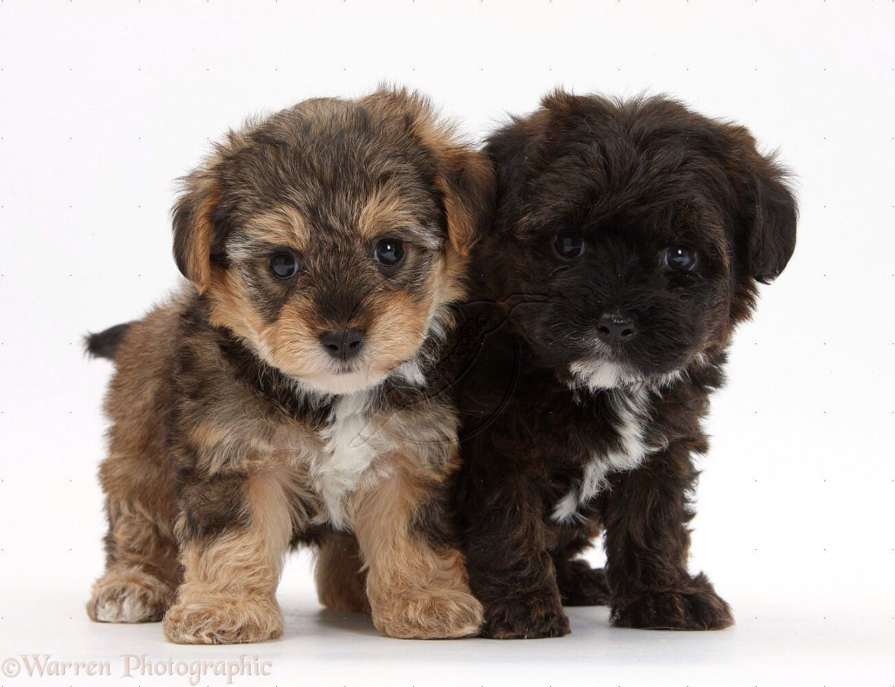 Yorkipoo ... I think it's time for a puppy!