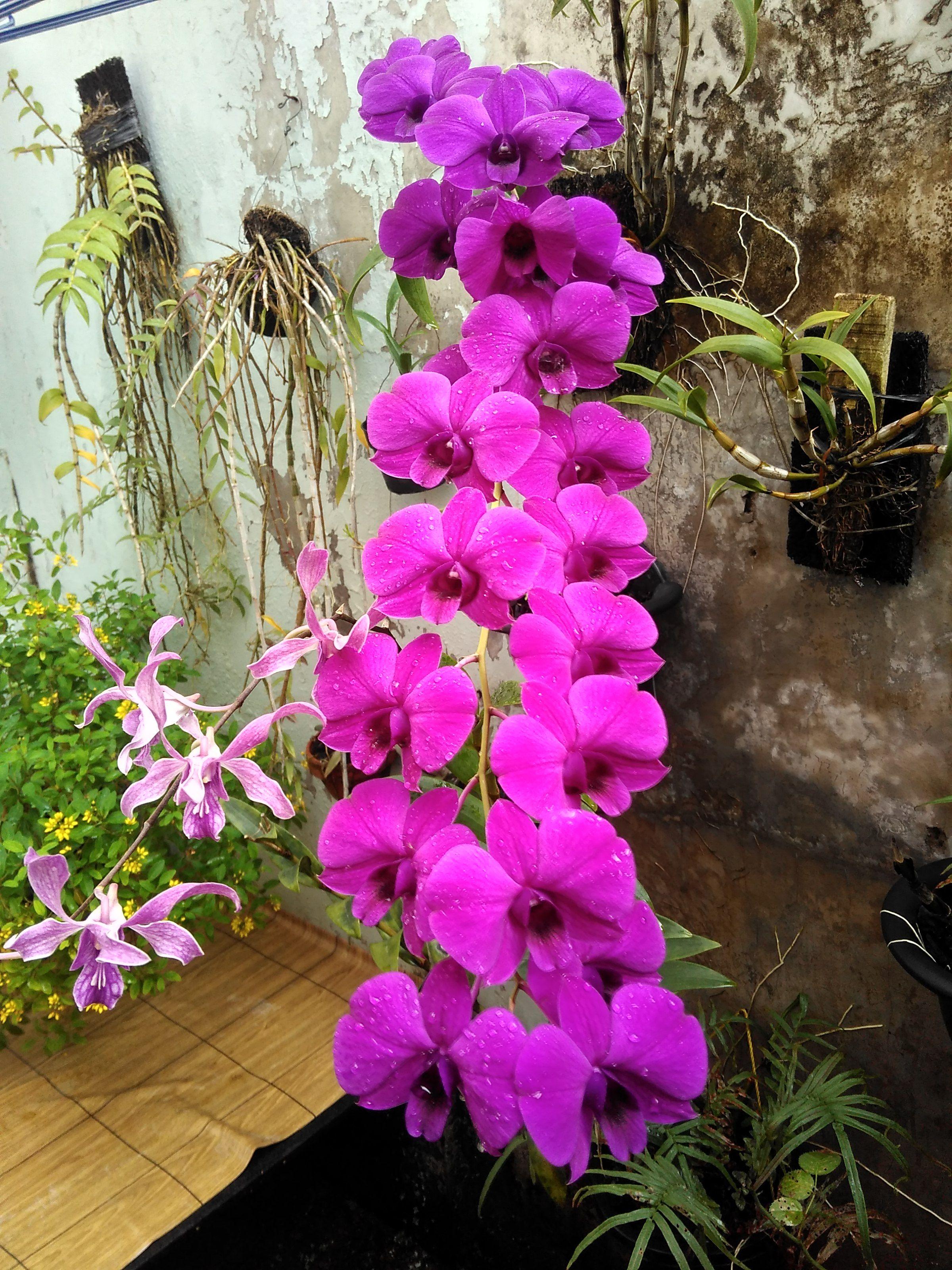 Bunga Tropis Anggrek Dendrobium Orchid Sinar Matahari 75