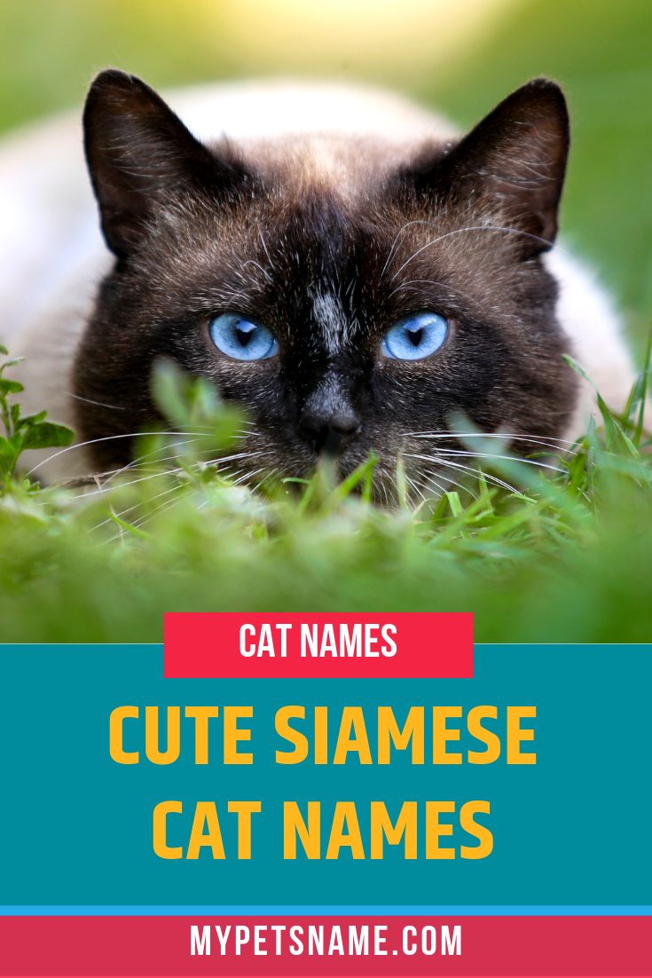 If There S One Thing All Siamese Cats Have In Common It Is How