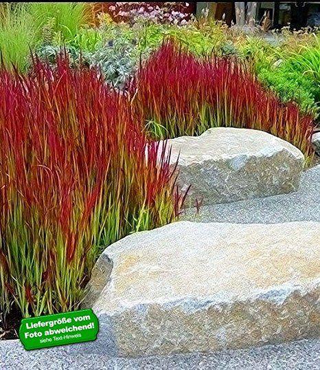 Trend BALDUR Garten Ziergras uRed Baron u Japanisches Blutgras Flammengras Pflanzen Imperata cylindrica
