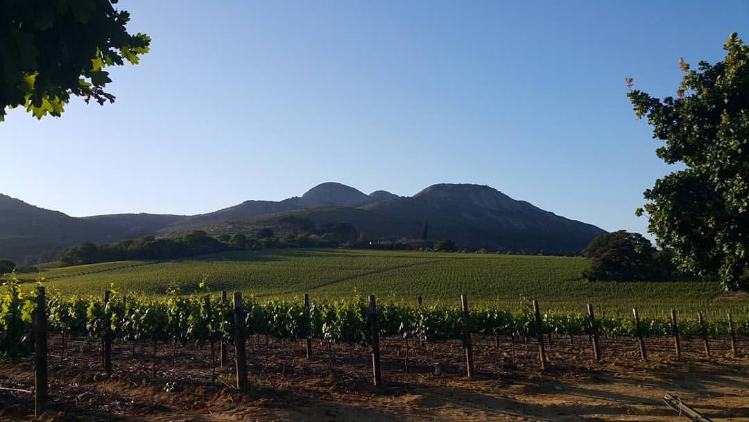 """""""The  beautiful green vinyards of my town Paarl. Majestic Paarl Rock in the background.  #vines #wineregion #paarl #westerncape #southafrica #travel…"""""""