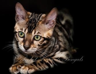 Bengal cat for sale sacramento ca