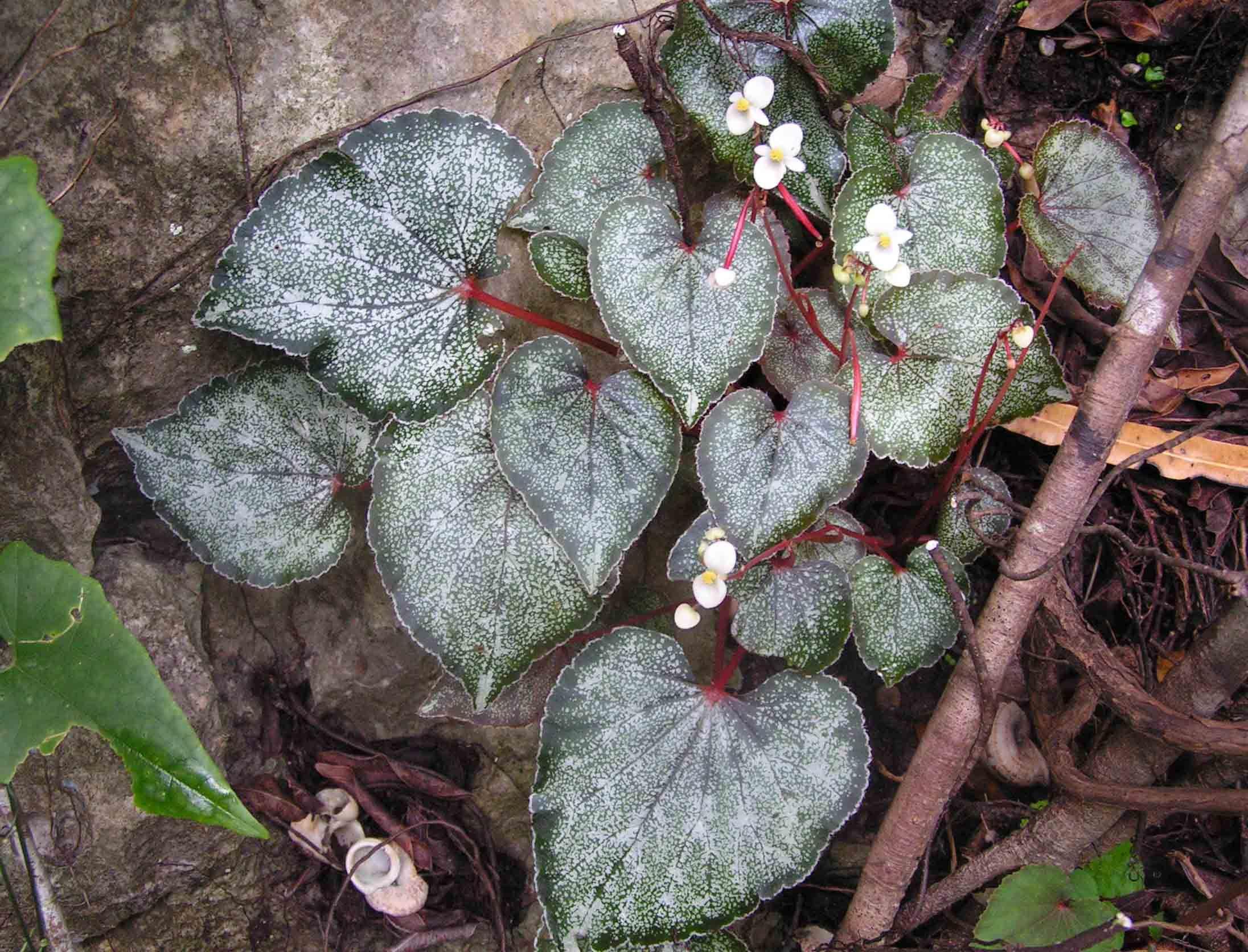 Begonia bataiensis Kiew