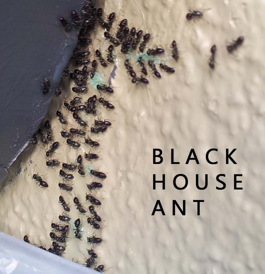 Little Black Ants How to Get Rid of Small Tiny Black Ants