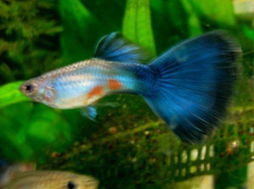 Guppy fish types of guppies species colour and tail for Guppy fish care