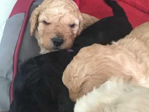 Cockapoo Puppies Preston Lancashire Pets4homes Pups