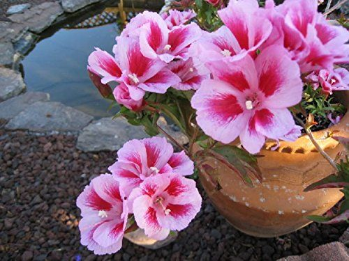 Seeds Pink Godetsiya Rembrant Godetia grandiflora Organic Flower Seed *** Click image for more details.