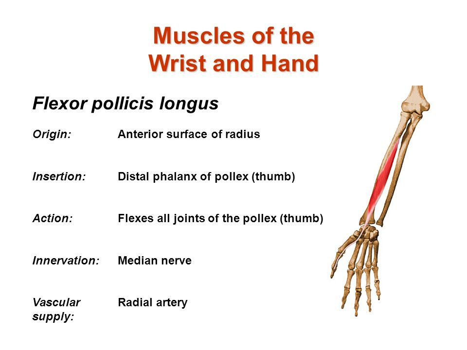 flexor pollicis longus origin and insertion - Google Search | Muscle ...