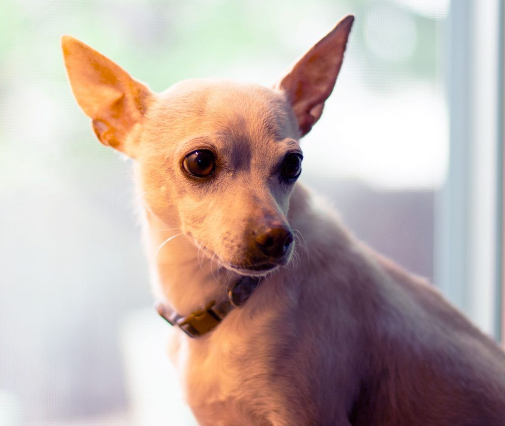 Boulder Co Chihuahua Mix Dog For Private Adoption Superior