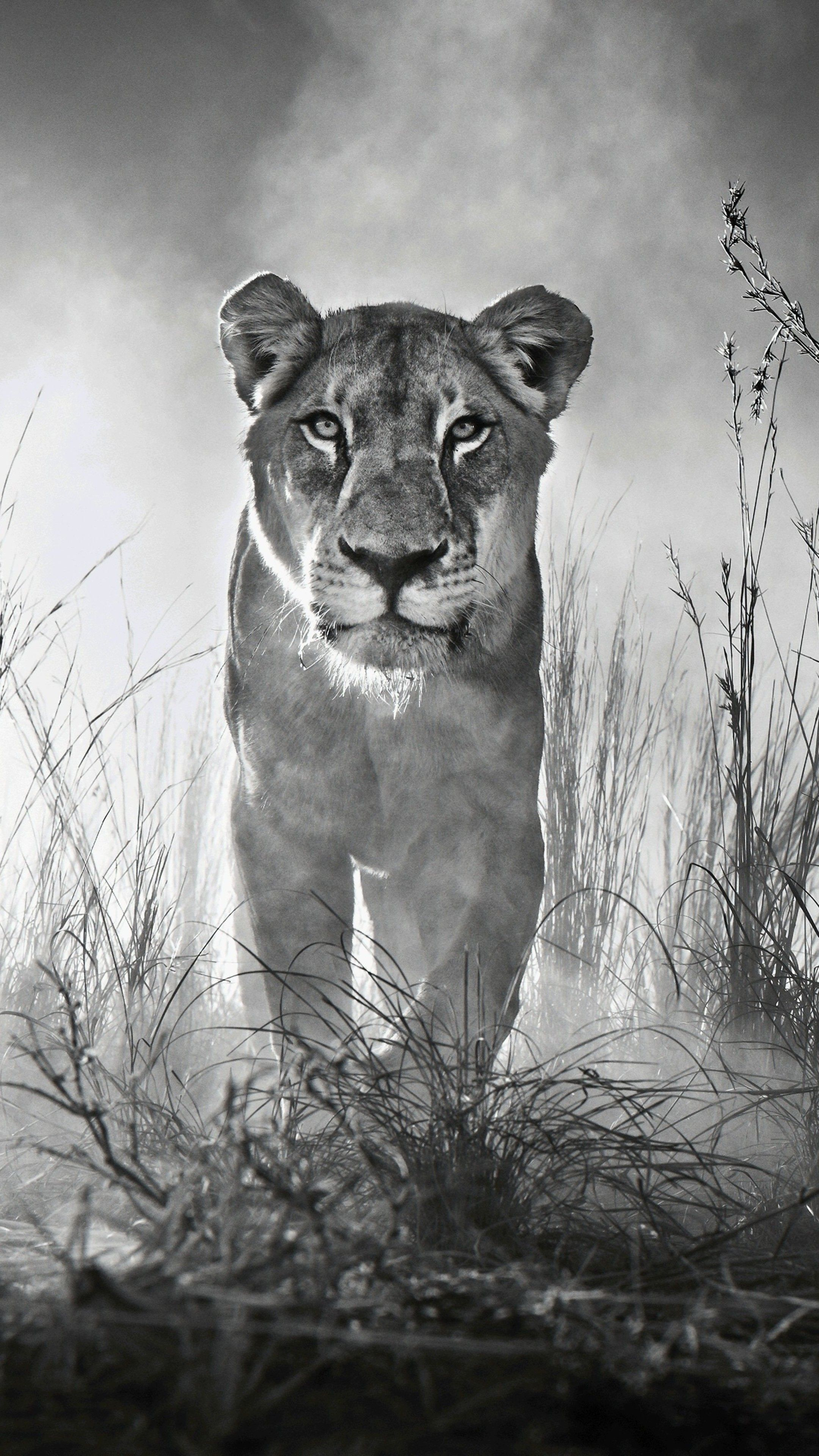 Animals Lion 4k Black And White Wallpapers Lion Pictures Animal Wallpaper Lion Wallpaper Iphone