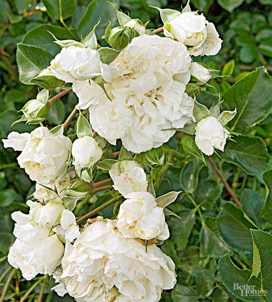White Roses for a Crisp, Classic Garden Look is part of Classic garden, White roses, Rose garden design, Climbing rose plants, Types of roses, Ground cover roses - Check out our selection of bright and beautiful white roses that vary from perky miniatures to petalpacked climbers