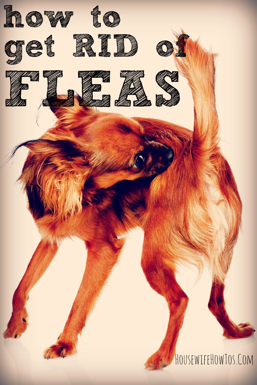 How To Get Rid Of Fleas Naturally Kill Fleas On Dogs Flea Bath For Dogs Flea Remedies