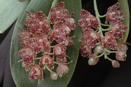 Terjual Anggrek Species Seluruh Indonesia Orchids Of Indonesia
