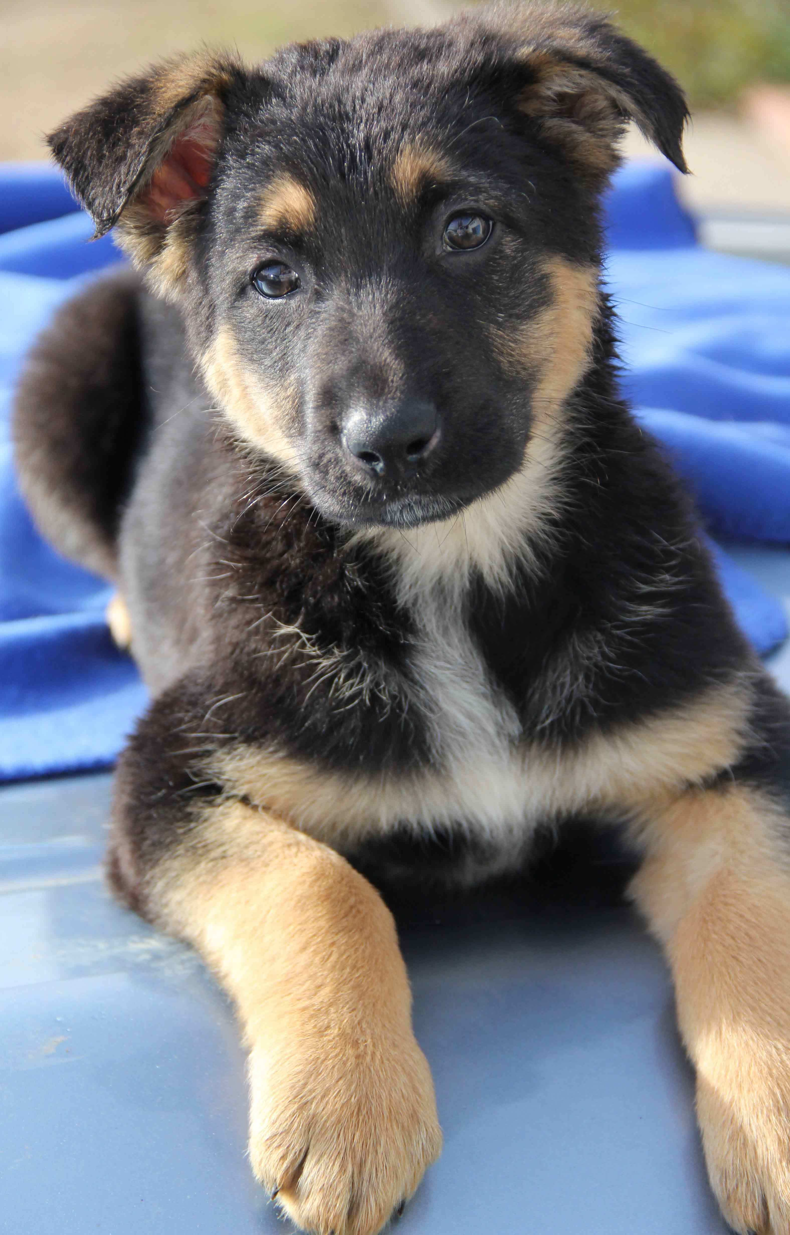 Blitzen Is An Adoptable German Shepherd Dog Searching For A