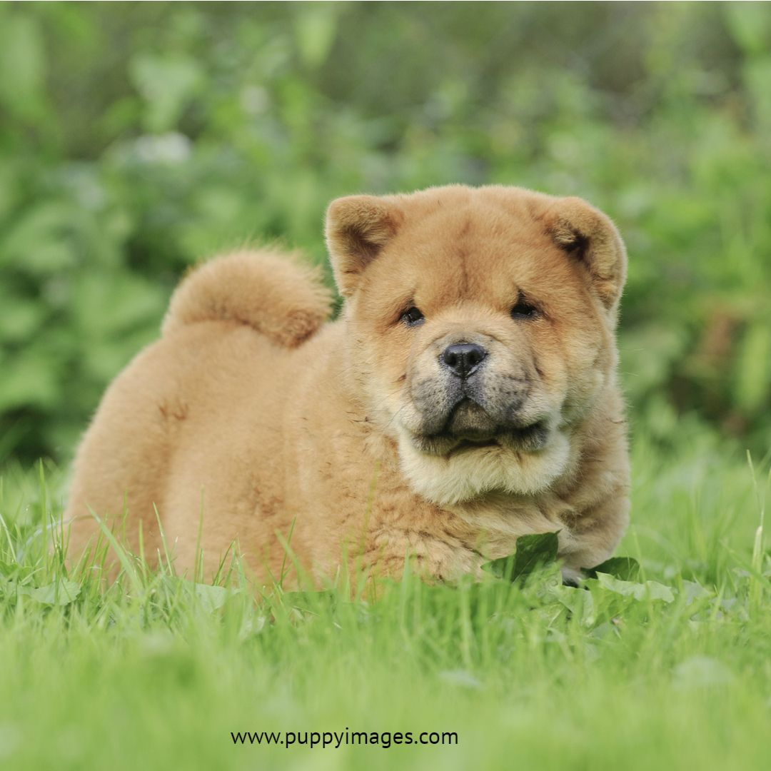 Chow Chow Puppy In Garden Puppy Dog Images Chow Chow Puppy