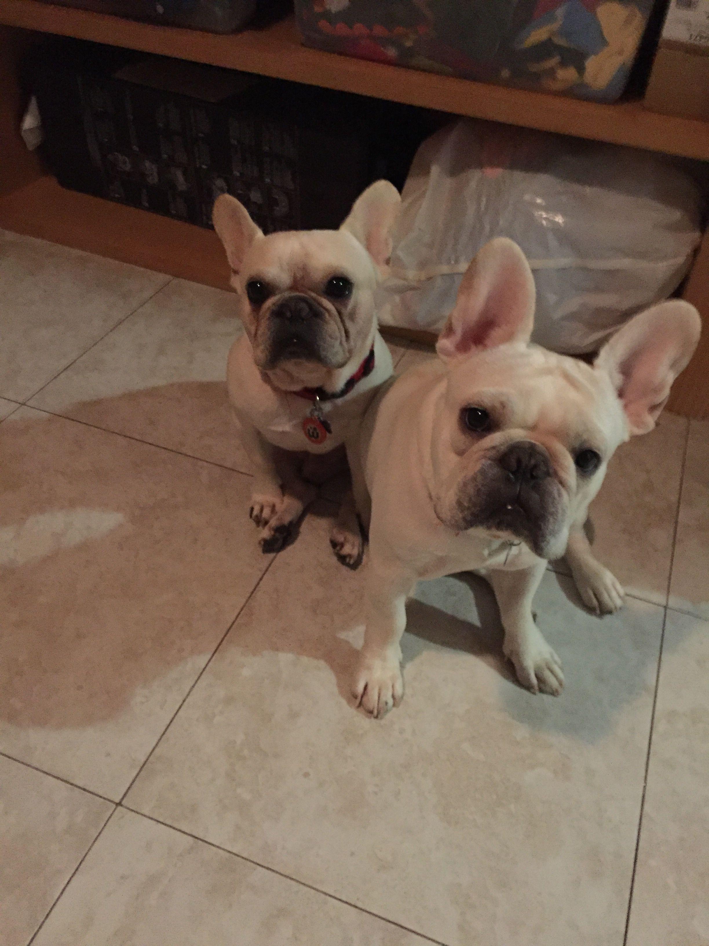 Roberto And Julio French Bulldogs Cute French Bulldog