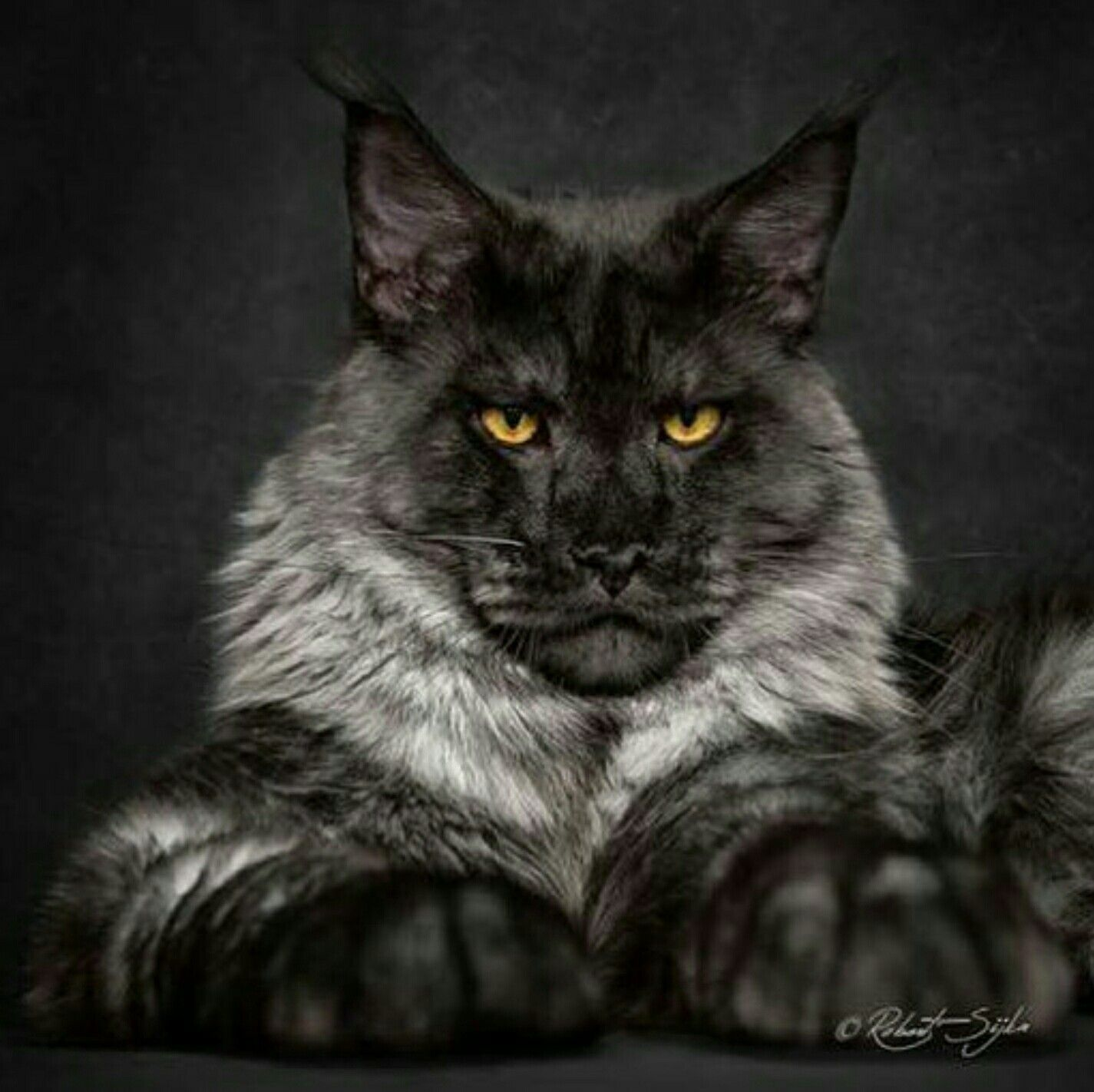 Pin On Black Maine Coon Cat