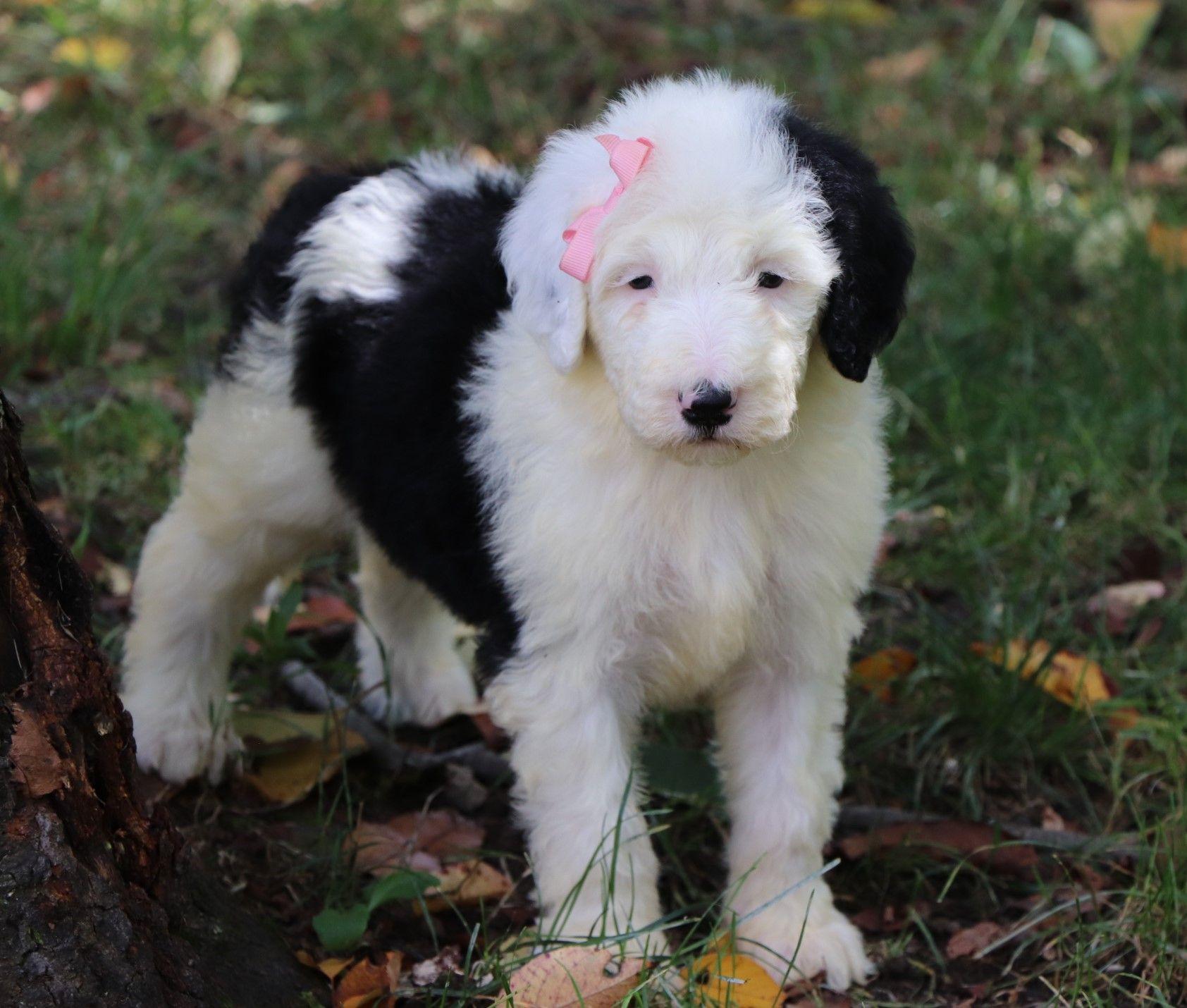 Sheepadoodle Puppies For Sale Sheepadoodle Puppy Sheepadoodle Puppies