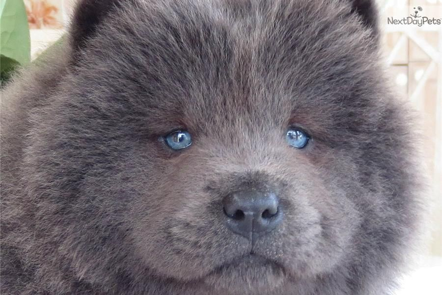 Dog Fact While The Chow Chow Dogs Are Well Known For Their
