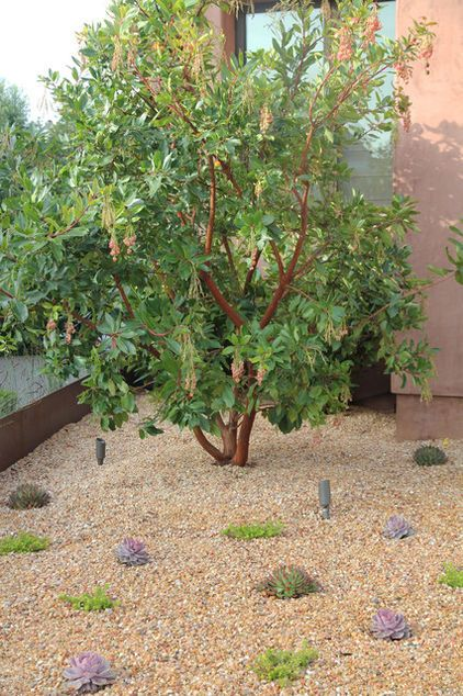 Arbutus Marina Evergreen Moderate Grower Can Be Grown As A Standard Single Trunk Would Recommend Multi T Water Wise Plants Plants Water Wise Landscaping
