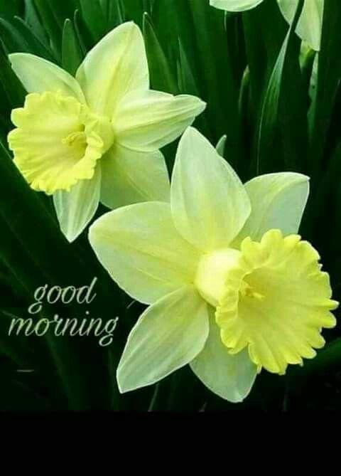 Large Cupped Daffodil Mix Daffodil Flower Daffodil Bulbs Daffodils