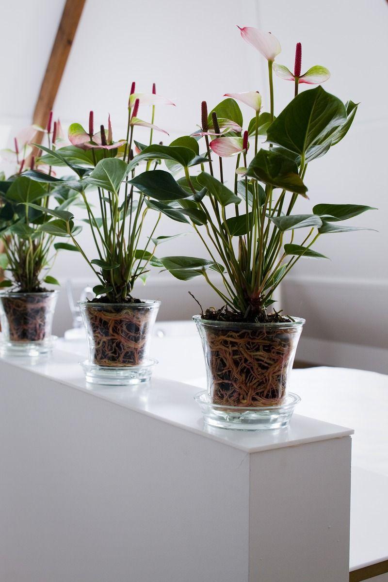 Plant In Glazen Pot.Plaats Eens Een Anthurium In Een Glazen Pot Voor Een