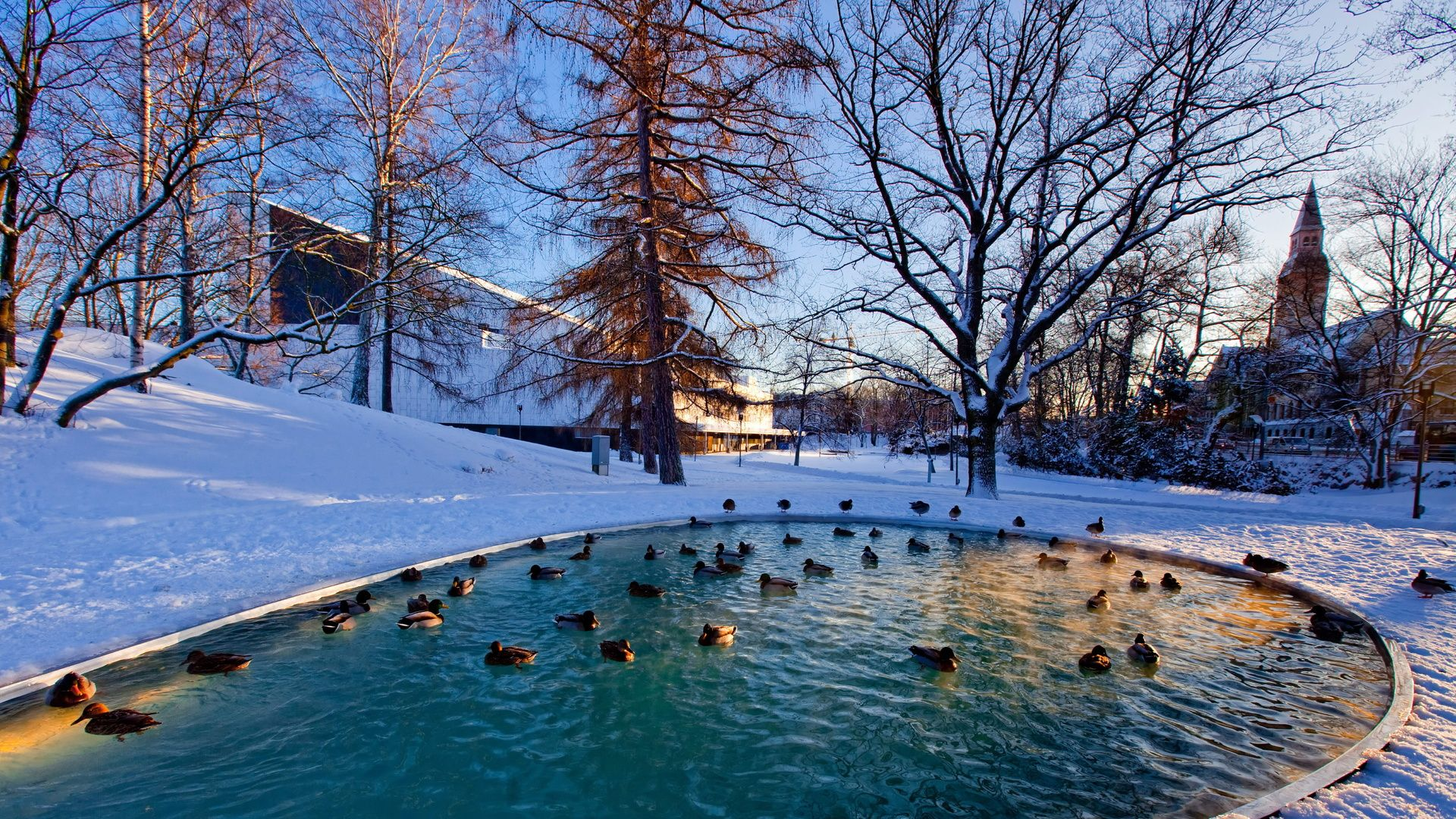 Superior Ducks In A City Park Pond In Winter