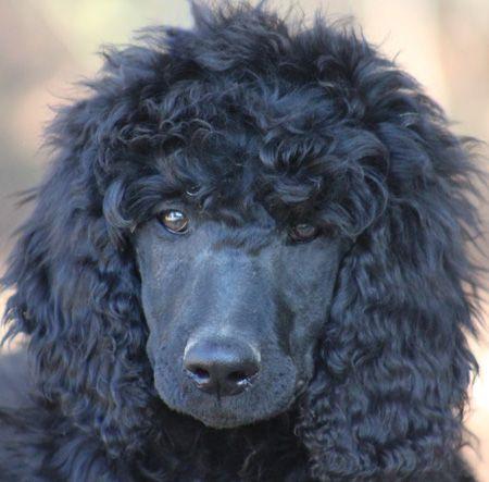 43 Odyssey S Black White Polish Female Standard Poodle Puppy