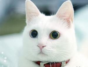 導讀:山東獅子貓和波斯貓產地不同,外形也有細微的差別,但是這兩個品種的貓咪都是大家非常喜愛的寵物貓品種。如果要選購其中的一種寵物貓品種,那麼在挑選的時候,一定要仔細辨別和區分,以便選購到自己中意的寵物貓咪。