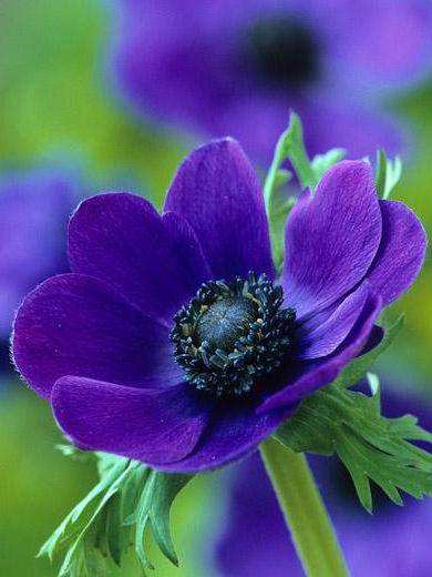 Anemone Coronaria Mr Fokker Lilla Blomster Vakre Blomster Planter