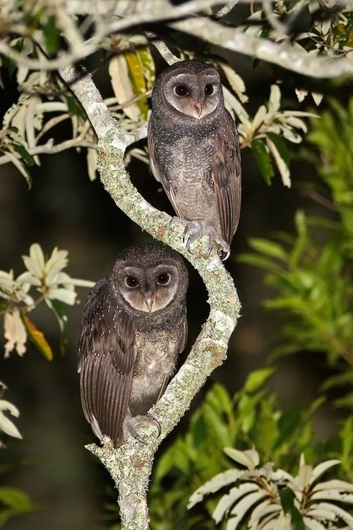 The Greater Sootty Owl - Tyto tenebricosa, is a medium to large owl found in south-eastern Australia, Montain rainforests of New Guinea and have been seen on Flinders Islands in the Bass Strait.  Photo by Eric Tan.