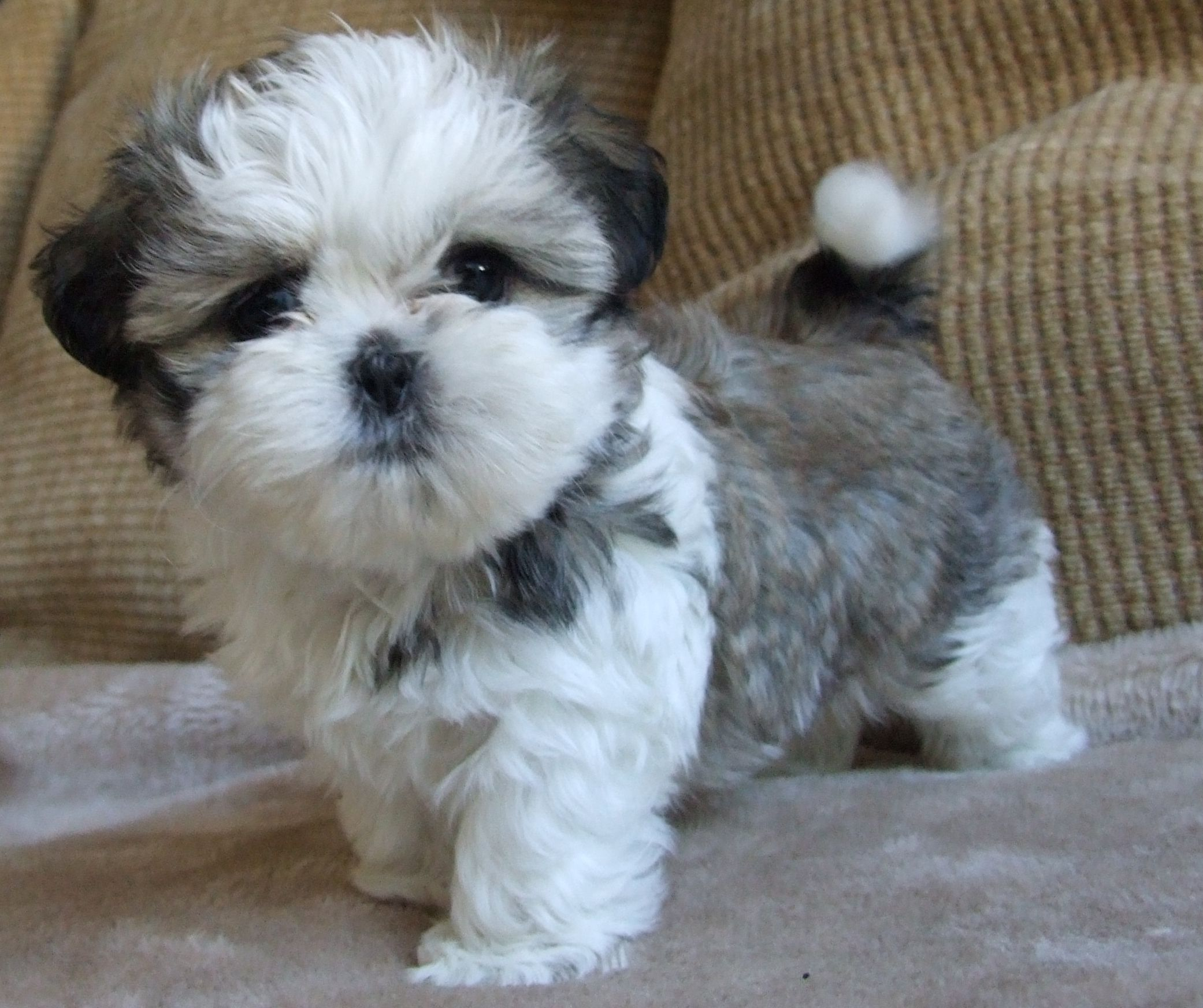 buy shih tzu puppies angel our of mia and yoshi shih tzus pinterest angel 7161