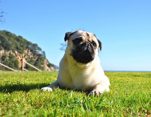 The 10 Dog Breeds That Live The Longest Pugs Pug Life Dogs