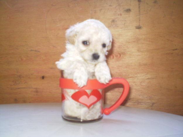 Fotos do poodle micro toy