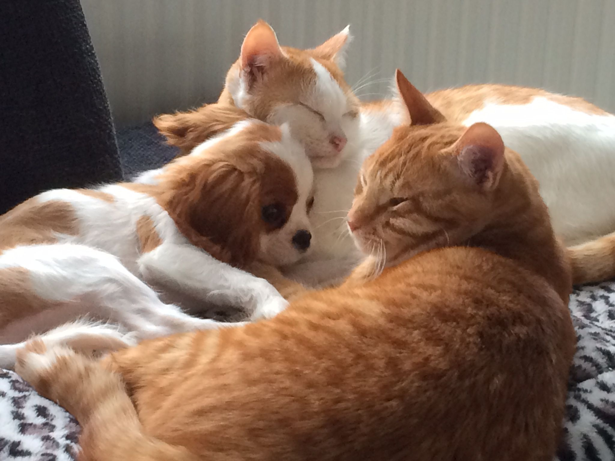 Cavalier King Charles puppy with cats