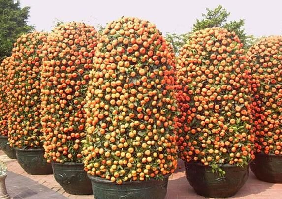 20pcs bonsai orange potted edible tangerine citrus fruit dwarf orange tree indoor plant for home