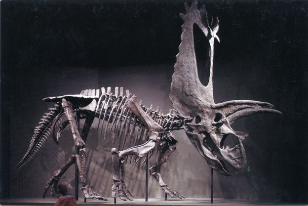 Postcard of Pentaceratops sternbergi at the Sam Noble Oklahoma Museum of Natural History in Norman, OK. Photo by Sanford Maullin.