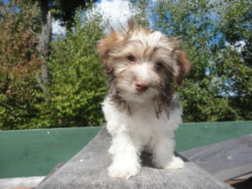Adorable Registered Havanese Puppies They Are 10 Weeks Old Havanese Puppies Puppies Havanese