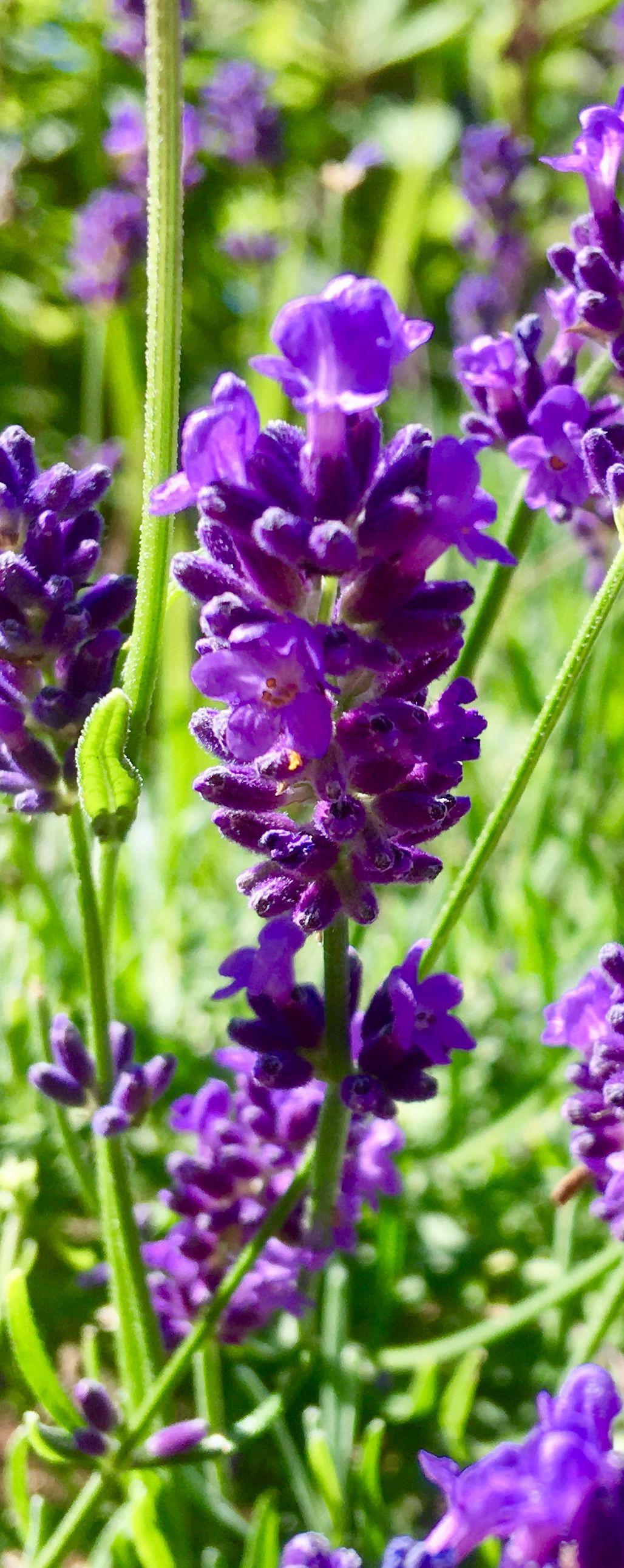 Lovely lavender lovely lavender beautiful flowers