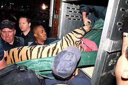 400 Pound Tiger Cooped Up In A Harlem Apartment Building