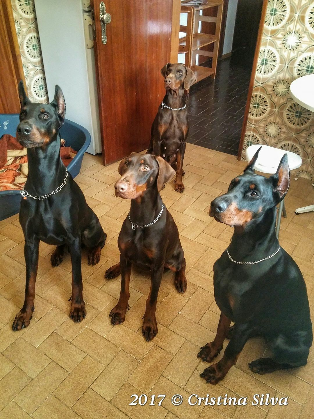 Doberman Pinscher Dog Breed Information Doberman Dogs Doberman