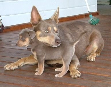 Happy Kelpie Family I Would Love One This Color Australian Dog