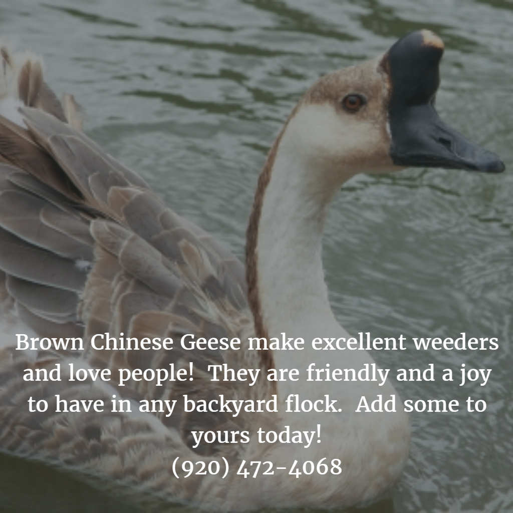 brown chinese geese make excellent weeders and love people they