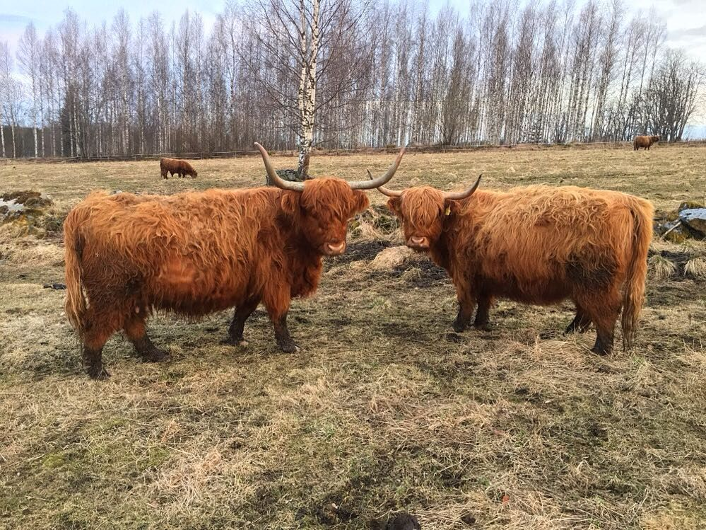 Pin by Tiffany Welch on Moo, Moo's | Highland cattle ...